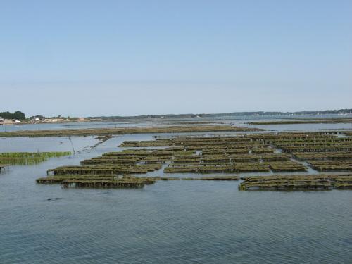 Hodowla ostryg w czasie odpływu #Golf du #Morbihan