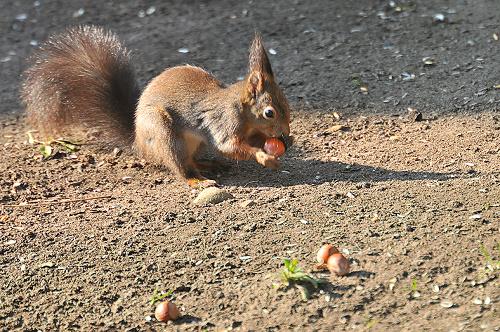 Wiewiorek w moim ogrodzie Ci bez liku ,bo je wabie na orzechy:) #wiewioreczka #wiosna