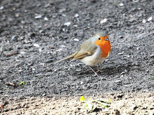 (Rotkehlchen) Rudzik w moim ogrodzie #Rudzik #ptaki #wiosna