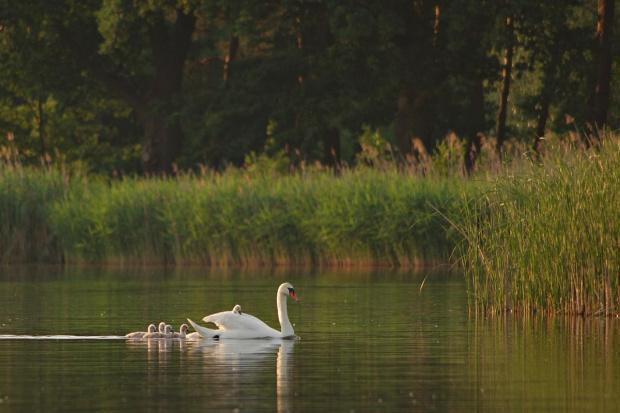 Łabędzia rodzinka na zbiorniku retencyjnym (Nowiniec)