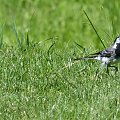 bialo-czarny ciekawski ptaszek